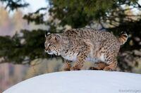 Peter-Bobcat