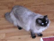 Himalayan cat percy