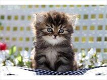Dark Gray Persian Cat