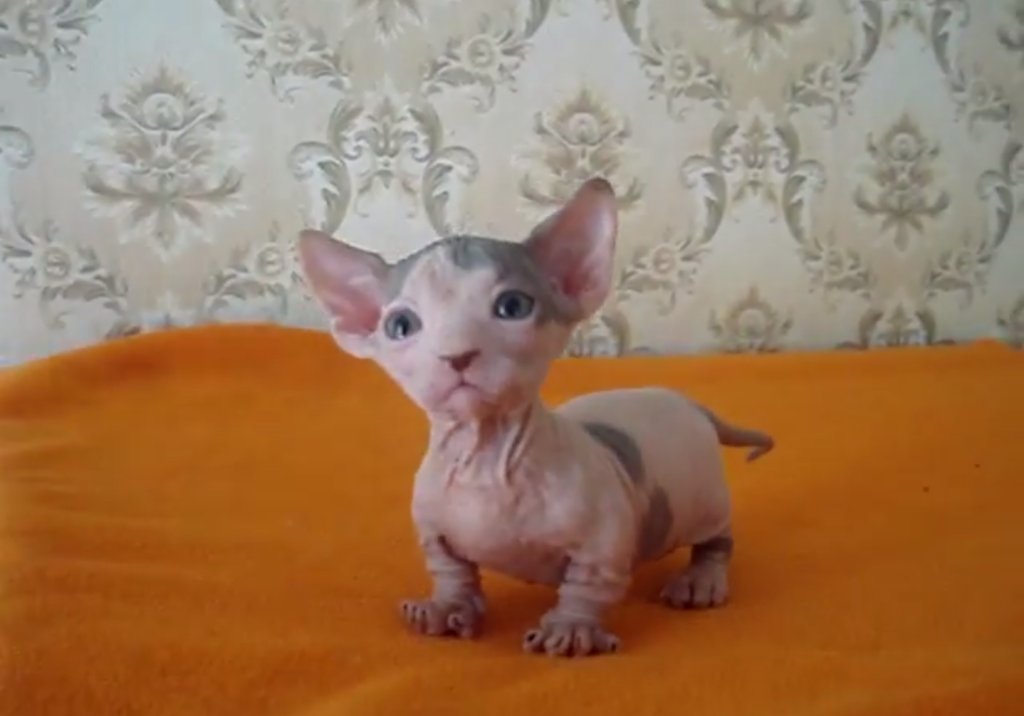 bambino cats munchkin sphynx breed breeds legs cross