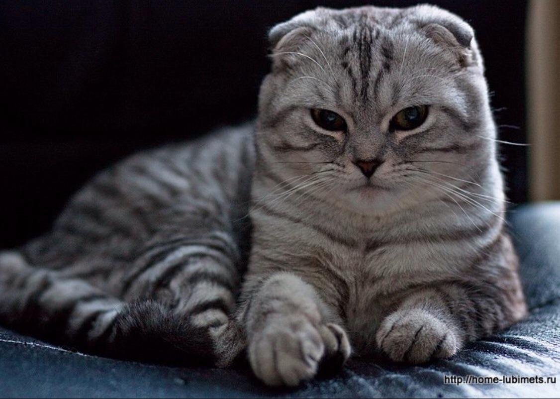 шотландская вислоухая кошка коты и кошатники вики Fandom
