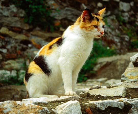 Mystra cat white orange black