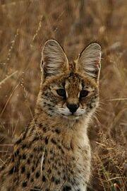 250px-Serval portrait