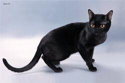 Bombaycat