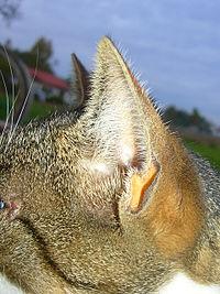 200px-Katzenohr seitlich