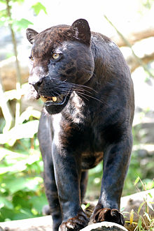 220px-Jaguar-schwarzer-panther-zoologie.de-nk0005