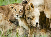 250px-Lion cub with mother