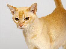 Ceylon-cat.jpg.pagespeed.ce.KXt9rkXexk