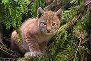 220px-Lynx kitten