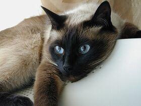 Сиамская кошка фото6