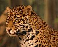 Jaguar head small