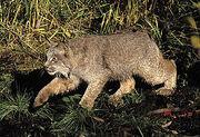 275px-Lynx-canadensis