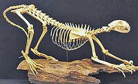 Скелет ирбиса