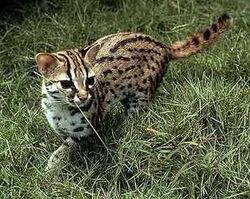 Бенгальская кошка (дикая) 1