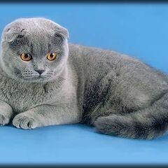 Голубая, взрослая кошка.