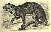 Marbled tiger-cat (f mamorata)