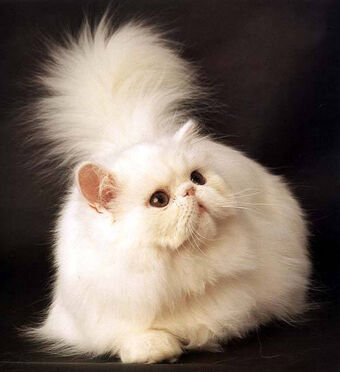 Персидская кошка | Котопедия | Fandom