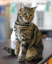 203px-Female European shorthair in cat show Helsinki 2005-07-31