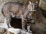 275px-Bobcat at Fort Worth Zoo