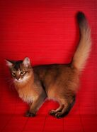 Somali cat wild