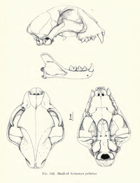 200px-Cheetahskull