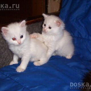 Игра ангорских котят