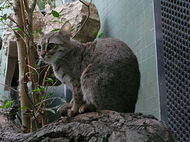 Ржавя кошка