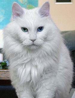 Deaf odd eye white cat sebastian
