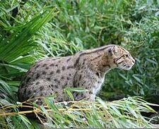 250px-Fishing Cat Pessac zoo