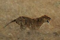 Львица охота