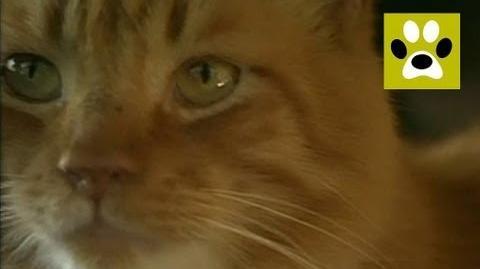 Мэнкс - порода кошек, у которых нет хвоста