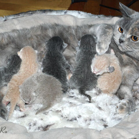Кошка, зараженная власоедами