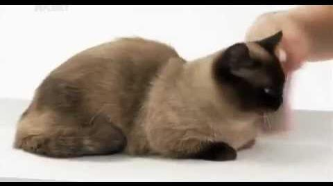 Animal Planet представляет кошки породы наполеон