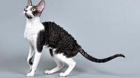 Кошка - Девон-рекс