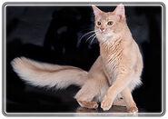 Somali cat1 9791 fawn