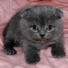 Котёнок голубой кошки.