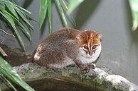 275px-Flat-headed cat 1 Jim Sanderson