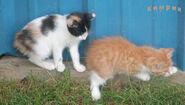 Cymric kittens