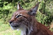Lynx lynx-4