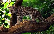 275px-Margaykat Leopardus wiedii