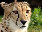 250px-Cheetah12