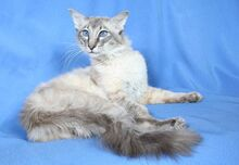 Balinese-cat-3.jpg.pagespeed.ce.0lK42FIa3w