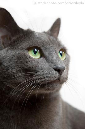 File:Russianblue.jpg