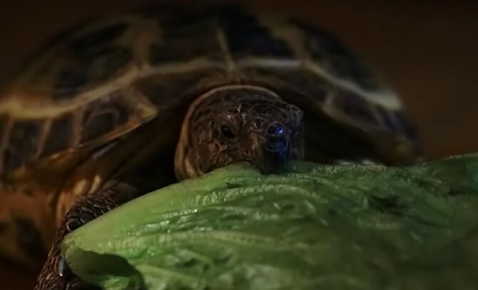 S03E04-Clyde eating lettuce