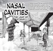 Nasal cavities