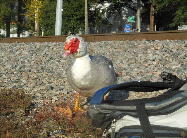 File:Cinderfella the Duck.jpeg