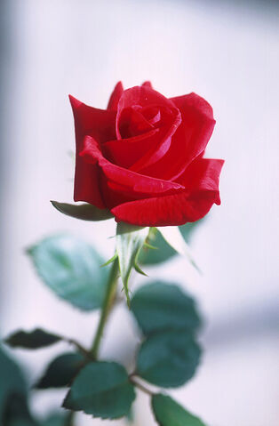 File:Red rose.jpg