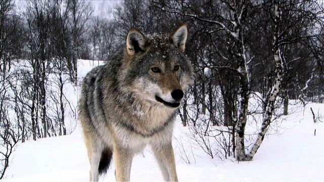 File:193103-wolves3-wolf-large.jpg