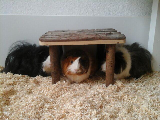 File:Drei von Leos Guinea Pigs.jpg