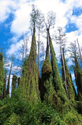 File:ARS Lygodium microphyllum.jpg